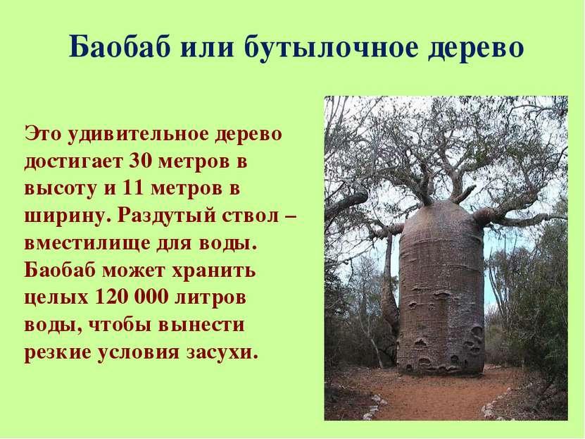 Баобаб или бутылочное дерево Это удивительное дерево достигает 30 метров в вы...
