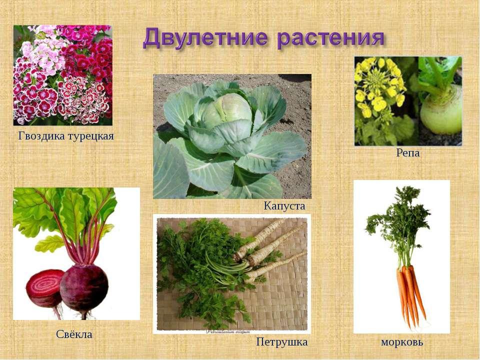 Гвоздика турецкая Капуста Петрушка Свёкла морковь Репа