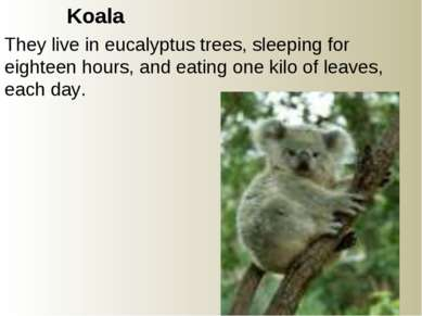 Koala They live in eucalyptus trees, sleeping for eighteen hours, and eating ...