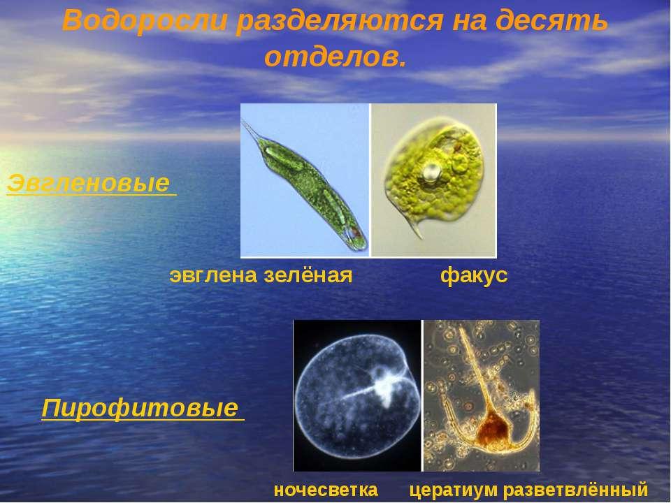 Водоросли разделяются на десять отделов.  Эвгленовые (Euglenophyta) – однокл...