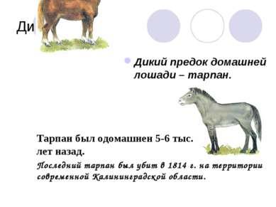 Дикие предки Дикий предок домашней лошади – тарпан. Тарпан был одомашнен 5-6 ...