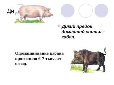 Дикие предки Дикий предок домашней свиньи – кабан. Одомашнивание кабана произ...