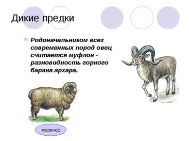 Дикие предки Родоначальником всех современных пород овец считается муфлон - р...