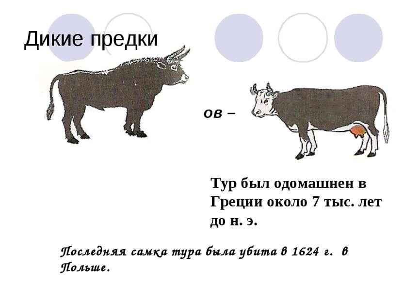 Дикие предки Дикий предок современных коров – тур. Тур был одомашнен в Греции...