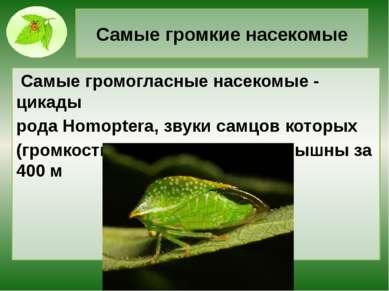 Самые громкие насекомые Самые громогласные насекомые - цикады рода Homoptera,...