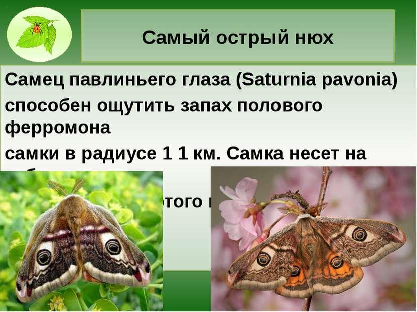 Самый острый нюх Самец павлиньего глаза (Saturnia pavonia) способен ощутить з...