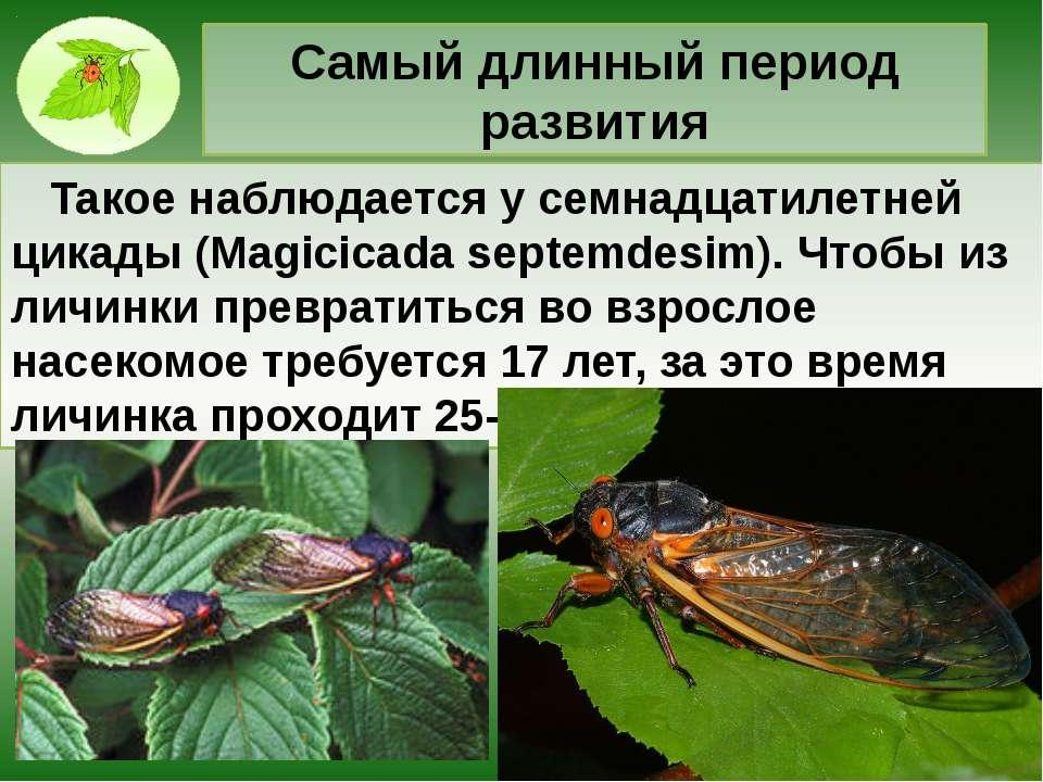 Самый длинный период развития Такое наблюдается у семнадцатилетней цикады (Ma...