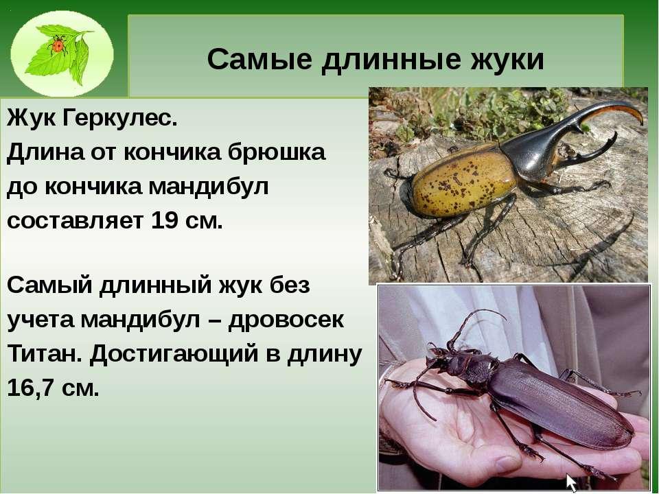Самые длинные жуки Жук Геркулес. Длина от кончика брюшка до кончика мандибул ...