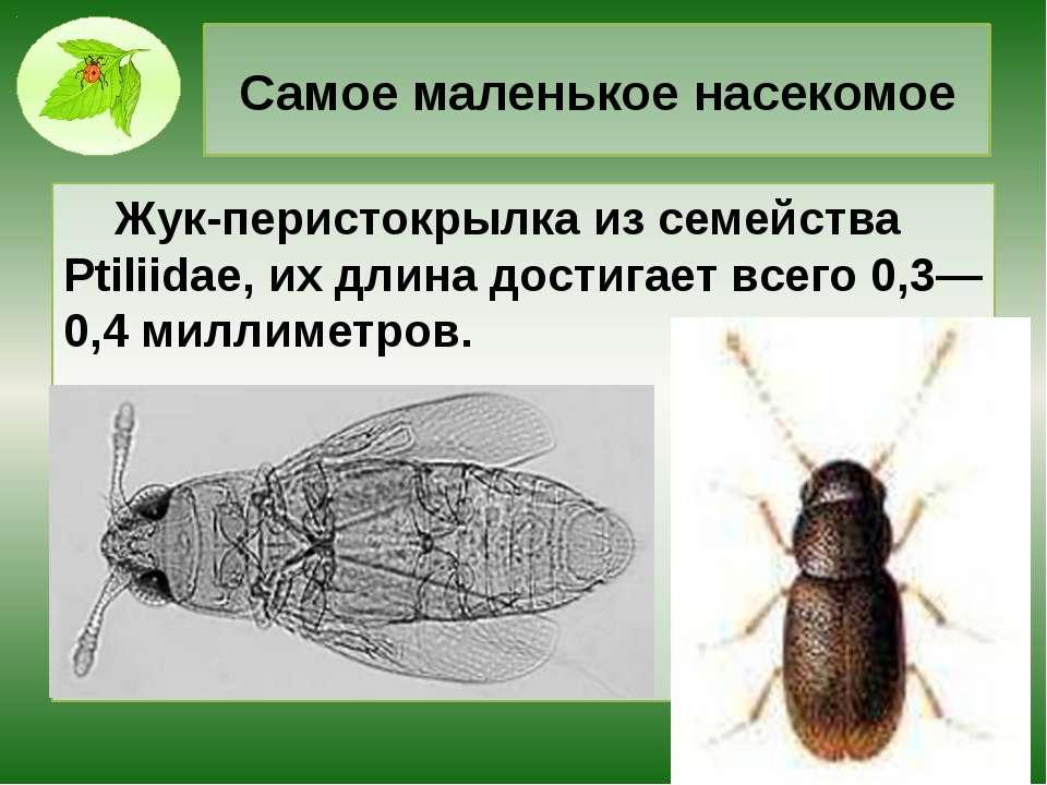 Самое маленькое насекомое Жук-перистокрылка из семейства Ptiliidae, их длина ...