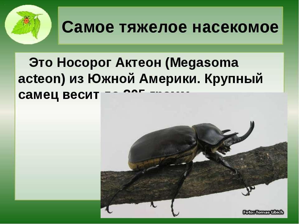 Самое тяжелое насекомое Это Носорог Актеон (Megasoma acteon) из Южной Америки...