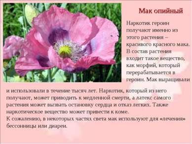 Мак опийный Наркотик героин получают именно из этого растения – красивого кра...