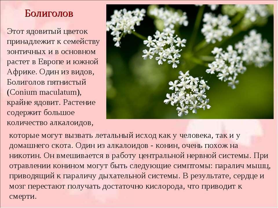 Болиголов Этот ядовитый цветок принадлежит к семейству зонтичных и в основном...