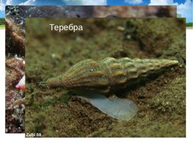Тропические моллюски конус и теребра имеют ядовитые железы, их яд близок к яд...