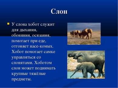 Слон У слона хобот служит для дыхания, обоняния, осязания, помогает при еде, ...