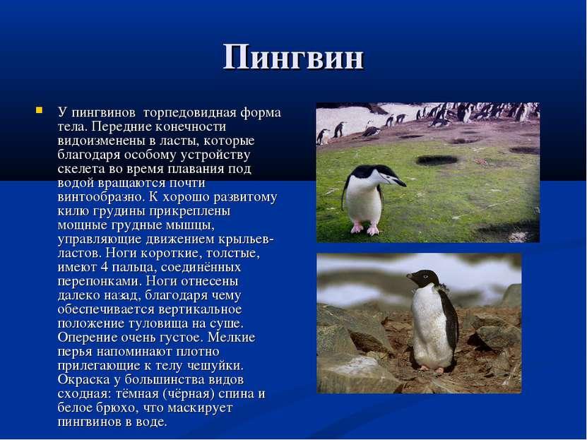 Пингвин У пингвинов торпедовидная форма тела. Передние конечности видоизменен...
