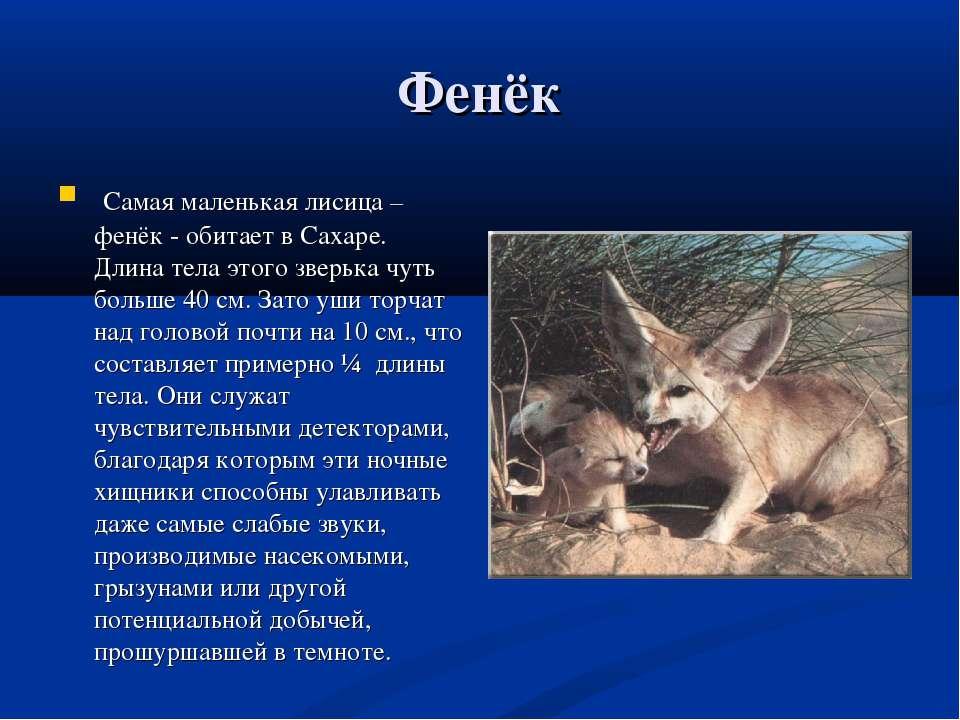 Фенёк Самая маленькая лисица – фенёк - обитает в Сахаре. Длина тела этого зве...