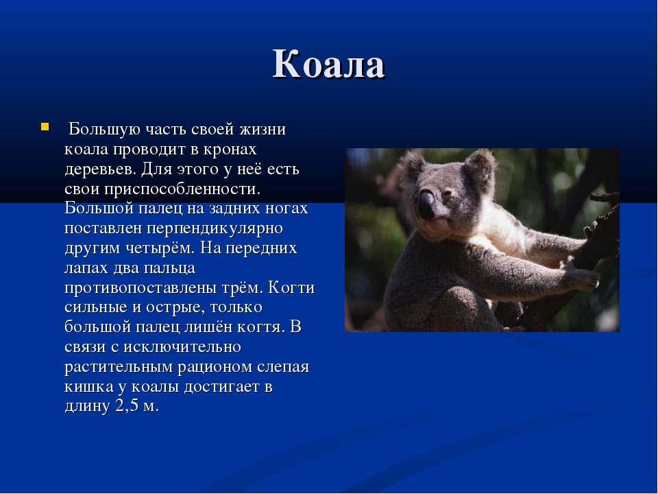 Коала Большую часть своей жизни коала проводит в кронах деревьев. Для этого у...