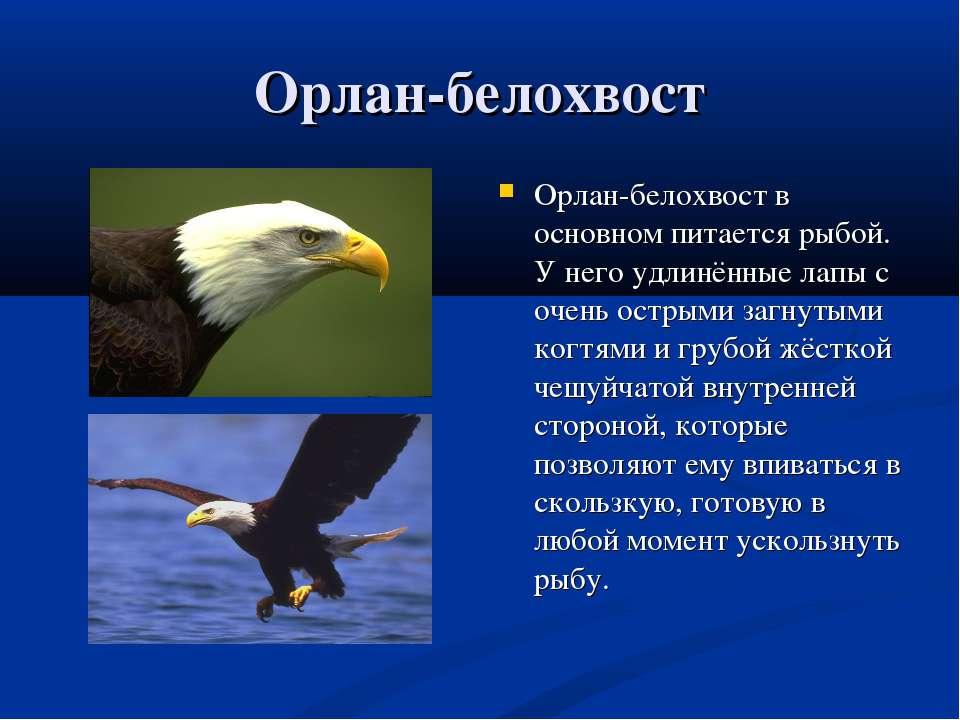 Орлан-белохвост Орлан-белохвост в основном питается рыбой. У него удлинённые ...
