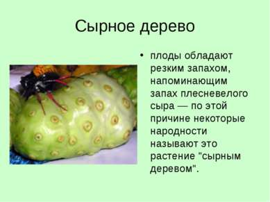Сырное дерево плоды обладают резким запахом, напоминающим запах плесневелого ...