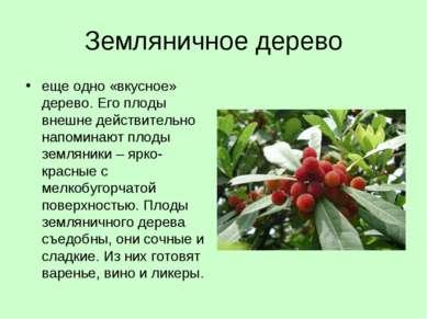 Земляничное дерево еще одно «вкусное» дерево. Его плоды внешне действительно ...