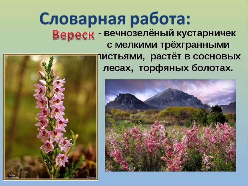 - вечнозелёный кустарничек с мелкими трёхгранными листьями, растёт в сосновых...