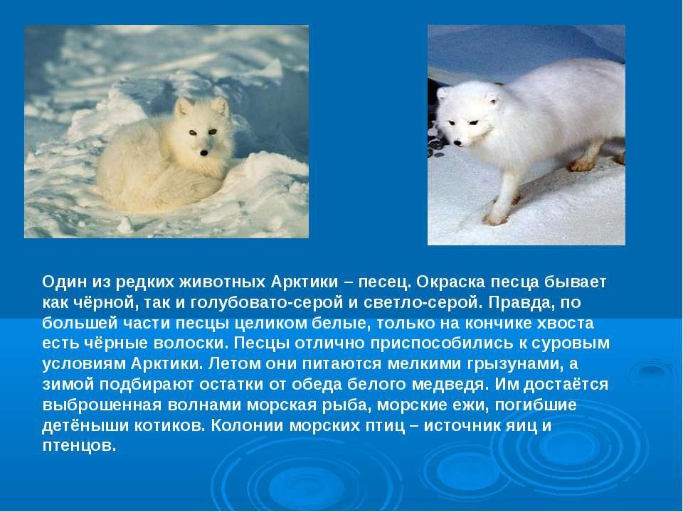 Один из редких животных Арктики – песец. Окраска песца бывает как чёрной, так...