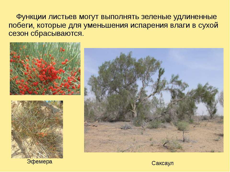 Функции листьев могут выполнять зеленые удлиненные побеги, которые для уменьш...