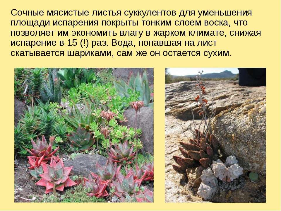 Сочные мясистые листья суккулентов для уменьшения площади испарения покрыты т...