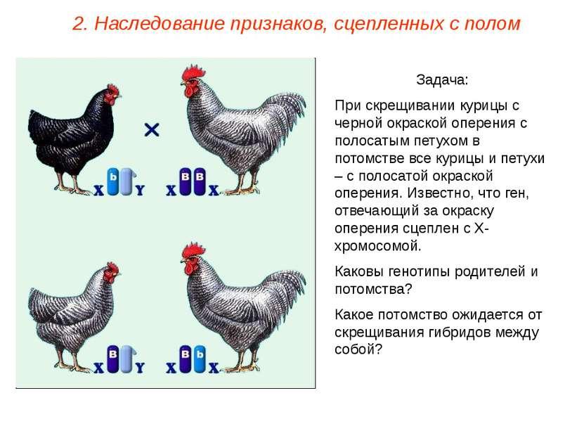 Задача: При скрещивании курицы с черной окраской оперения с полосатым петухом...