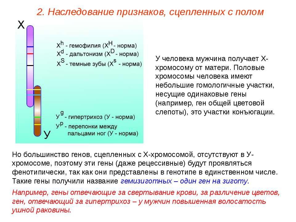 У человека мужчина получает Х-хромосому от матери. Половые хромосомы человека...