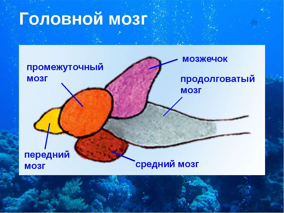 Головной мозг промежуточный мозг мозжечок продолговатый мозг передний мозг ср...