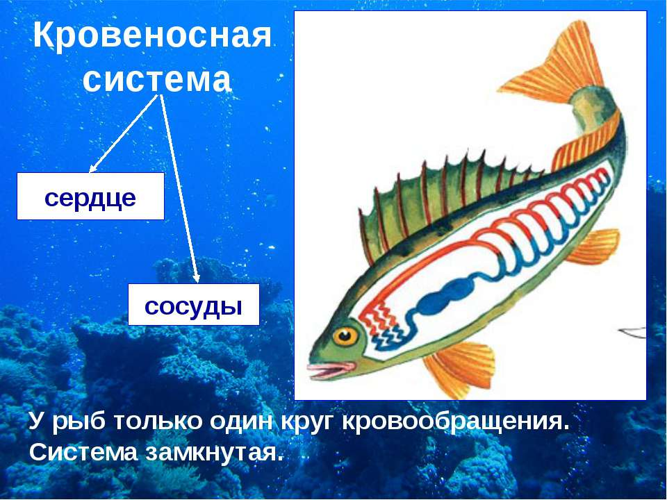 Кровеносная система сердце сосуды У рыб только один круг кровообращения. Сист...