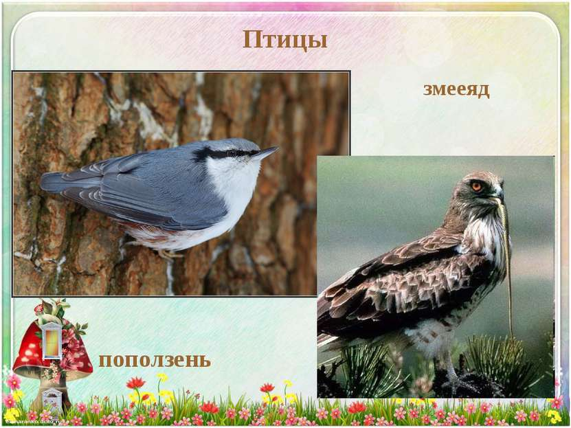 Птицы поползень змееяд