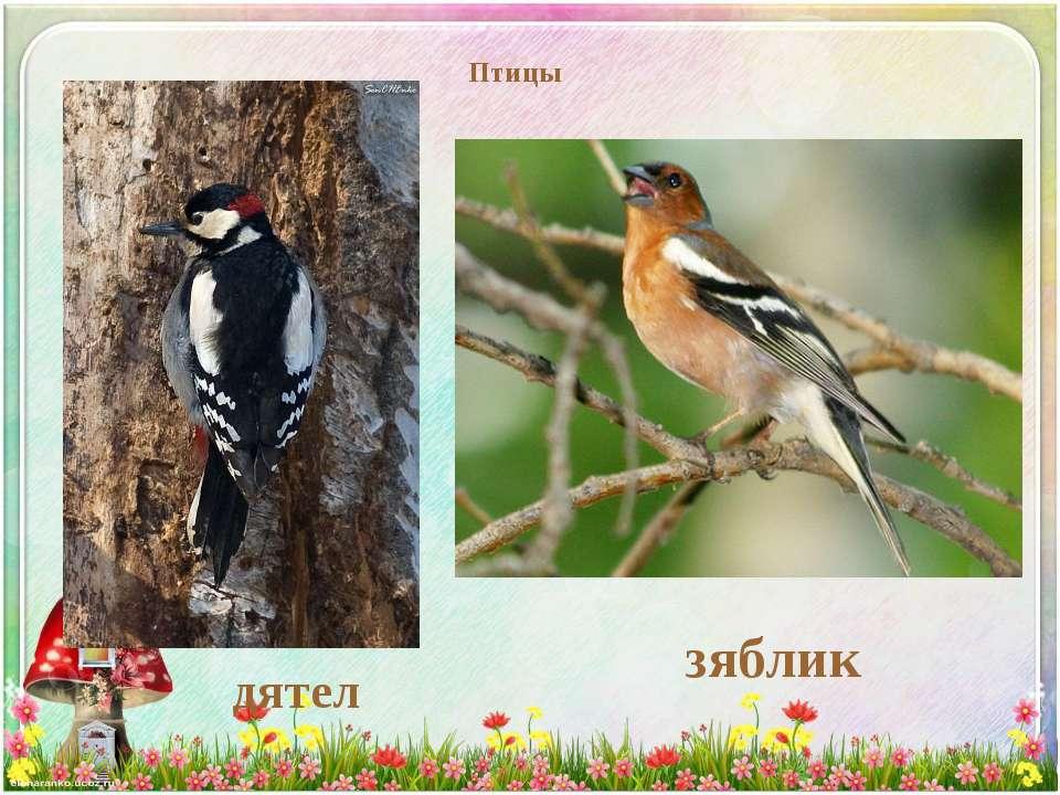 Птицы дятел зяблик