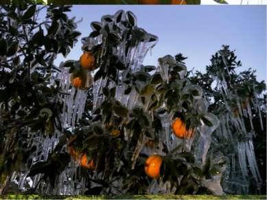 Экономика Флорида – ведущий штат США по производству цитрусовых. Ежегодно две...