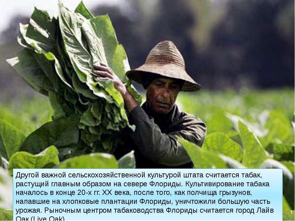 Другой важной сельскохозяйственной культурой штата считается табак, растущий ...
