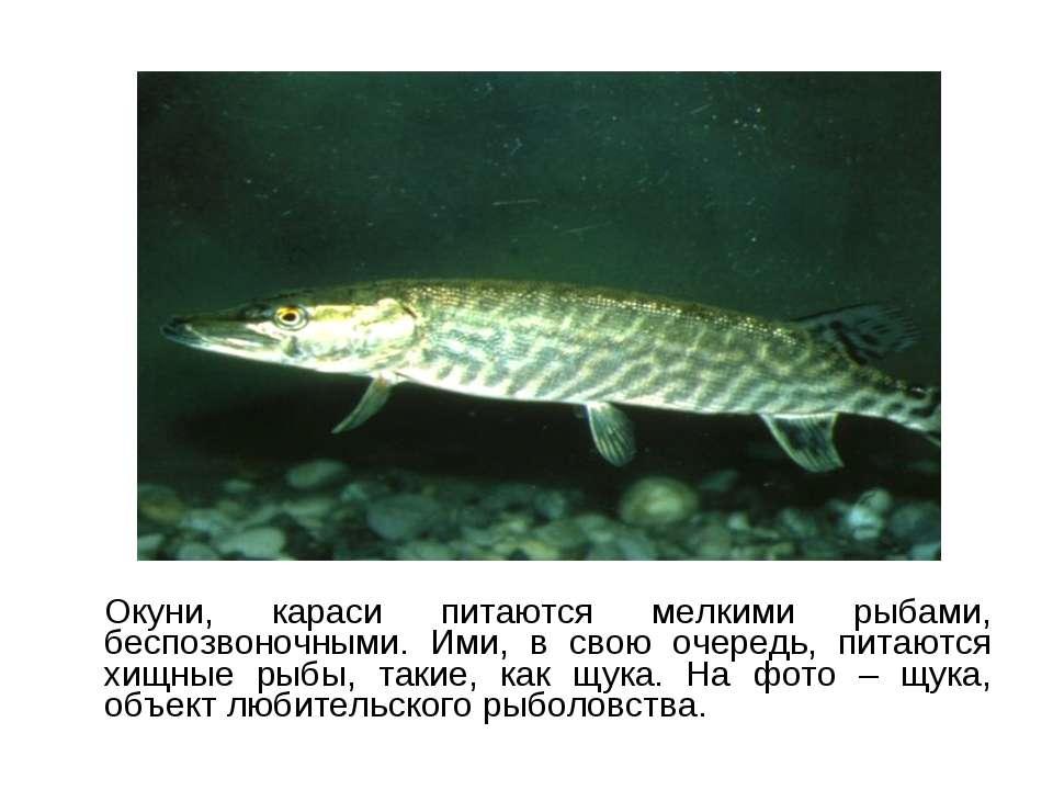 Окуни, караси питаются мелкими рыбами, беспозвоночными. Ими, в свою очередь, ...