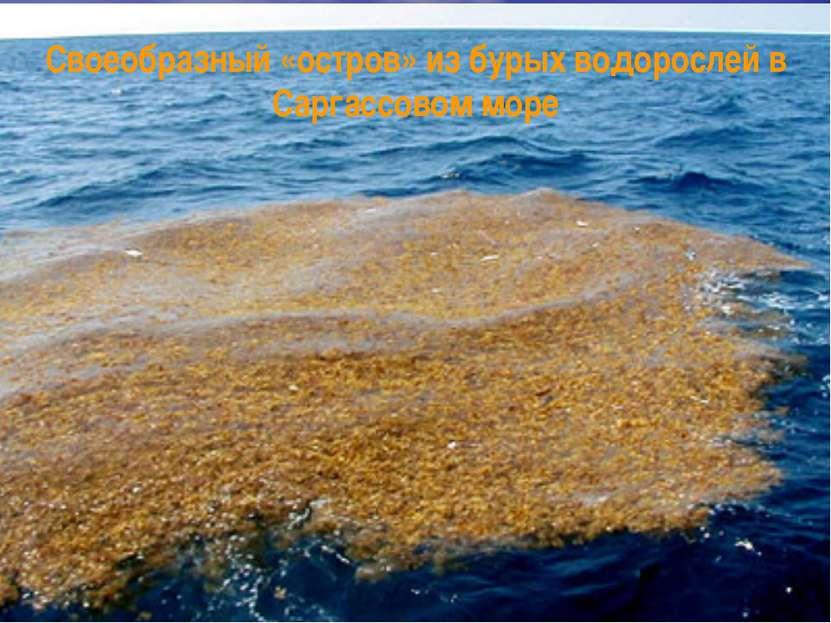 Своеобразный «остров» из бурых водорослей в Саргассовом море