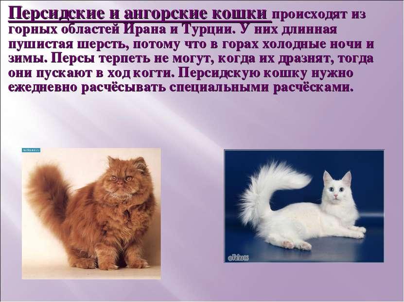 Персидские и ангорские кошки происходят из горных областей Ирана и Турции. У ...