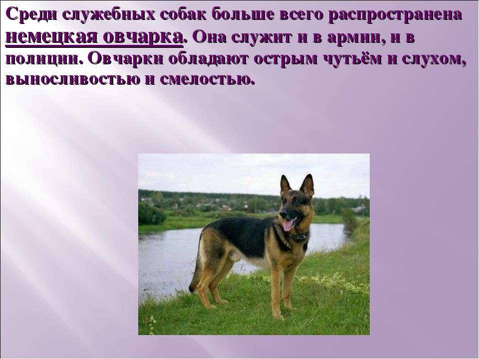 Среди служебных собак больше всего распространена немецкая овчарка. Она служи...