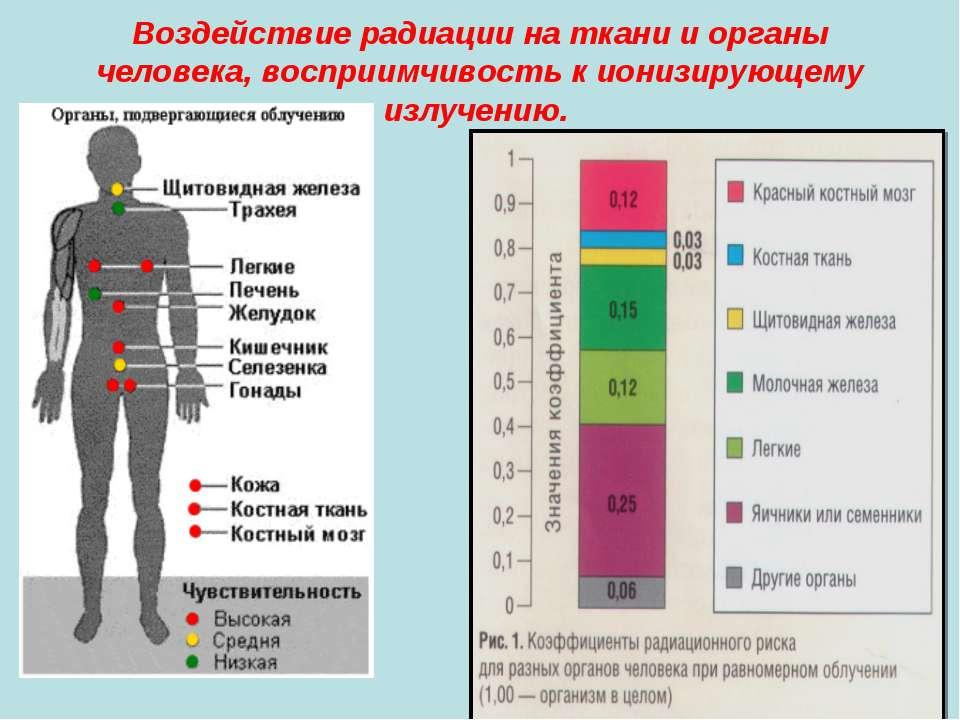 Воздействие радиации на ткани и органы человека, восприимчивость к ионизирующ...