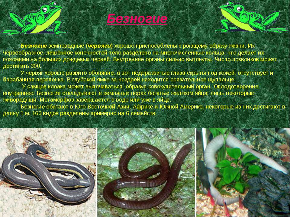 Безногие земноводные (червяги) хорошо приспособлены к роющему образу жизни. И...