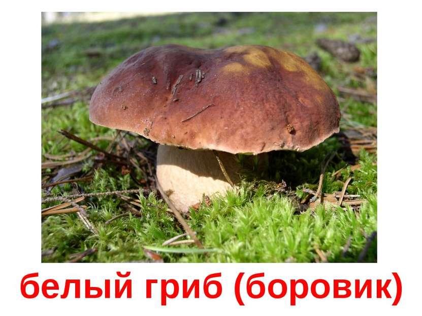 белый гриб (боровик)