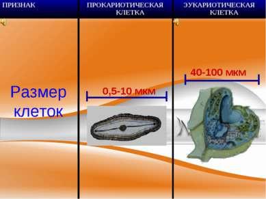 Размер клеток 0,5-10 мкм 40-100 мкм ПРИЗНАК ПРОКАРИОТИЧЕСКАЯ КЛЕТКА ЭУКАРИОТИ...