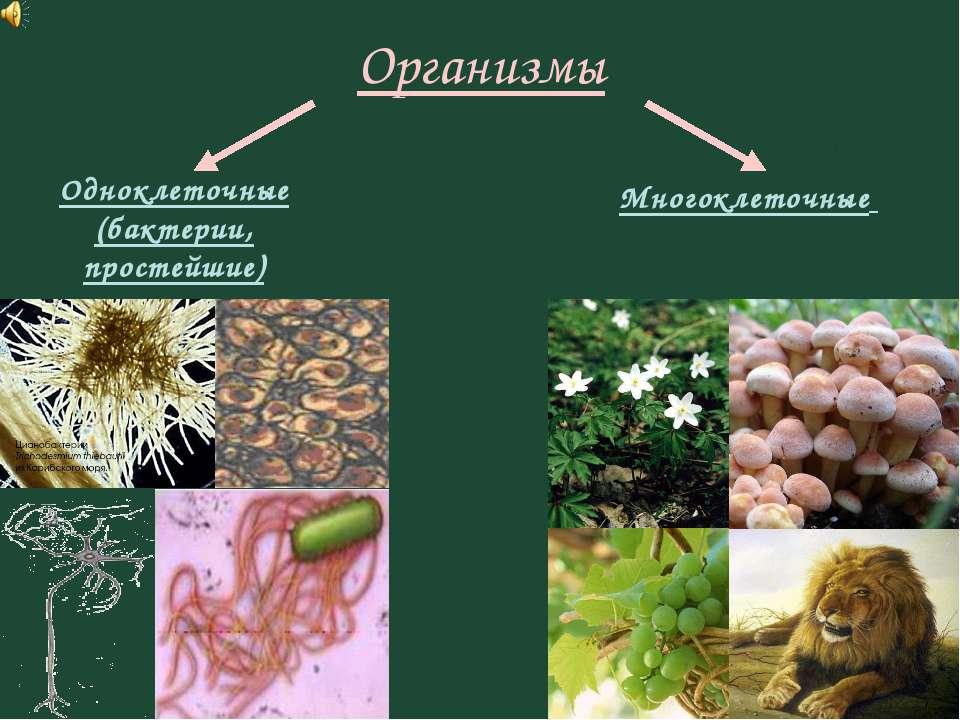 Организмы Одноклеточные (бактерии, простейшие) Многоклеточные