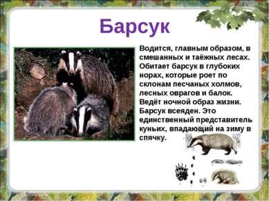 Барсук Водится, главным образом, в смешанных и таёжных лесах. Обитает барсук ...