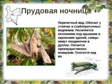 Прудовая ночница Перелетный вид. Обитает у стоячих и слабопроточных водоемов....