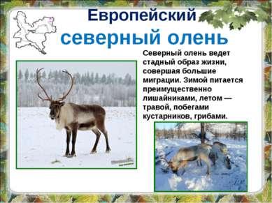 Европейский северный олень Северный олень ведет стадный образ жизни, совершая...