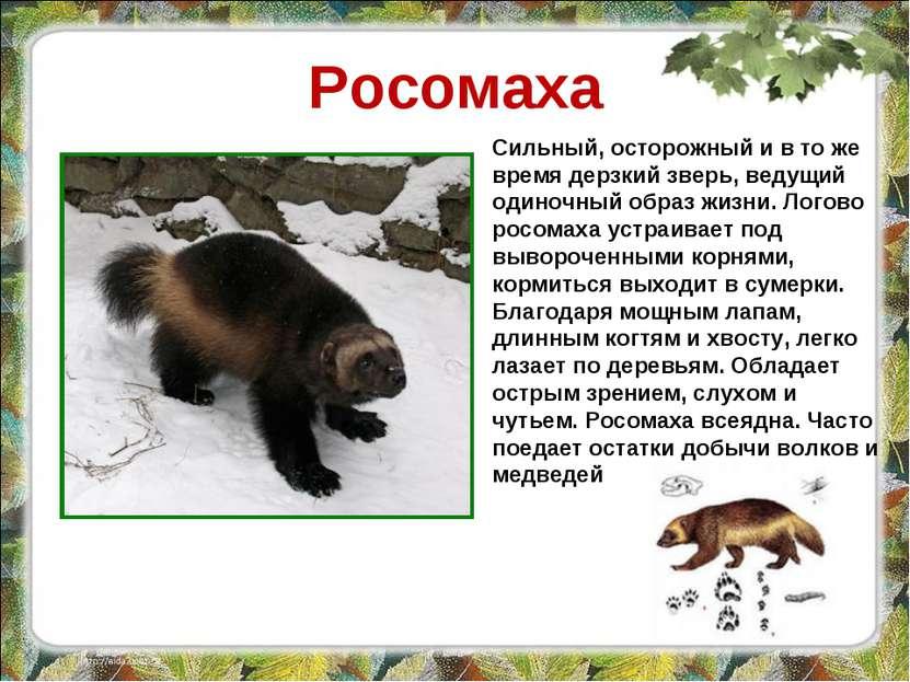 Росомаха Сильный, осторожный и в то же время дерзкий зверь, ведущий одиночный...