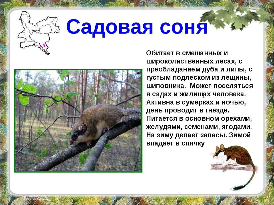 Садовая соня Обитает в смешанных и широколиственных лесах, с преобладанием ду...